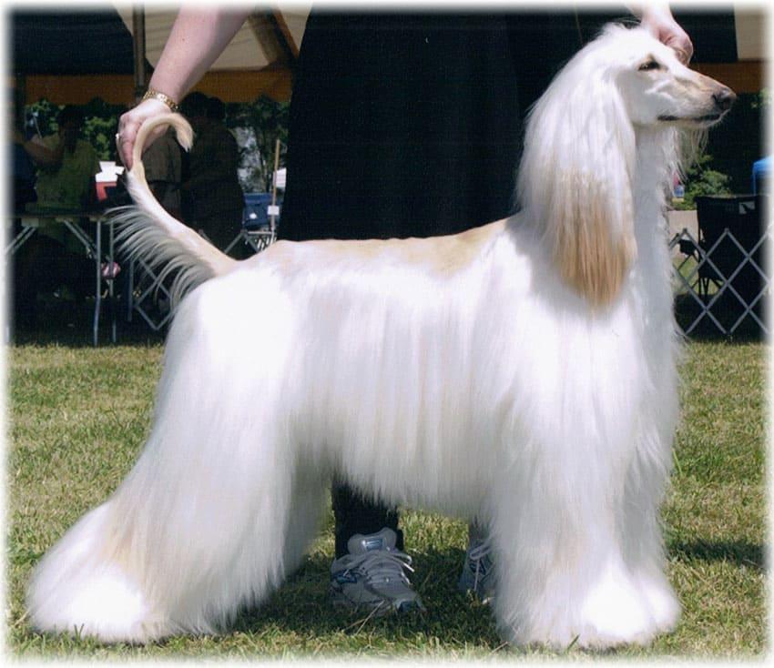 Красивая белая собака афганская борзая