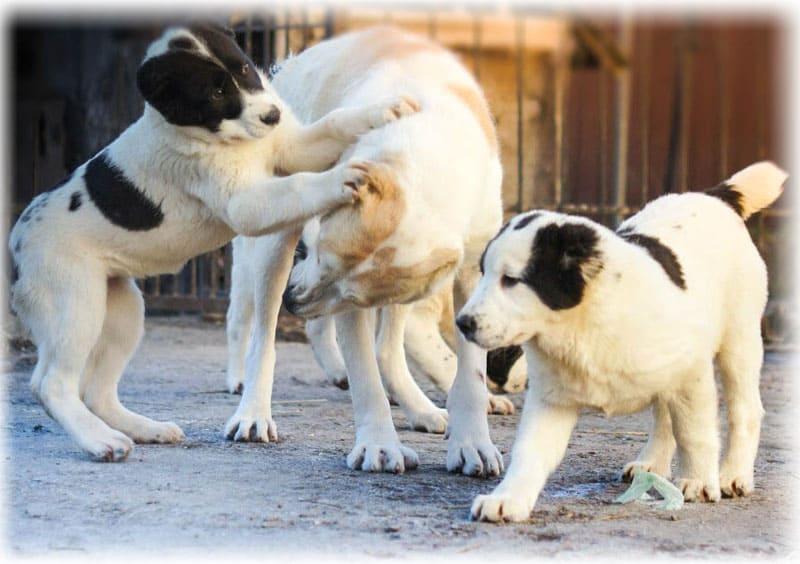 Алабай играется со щенками