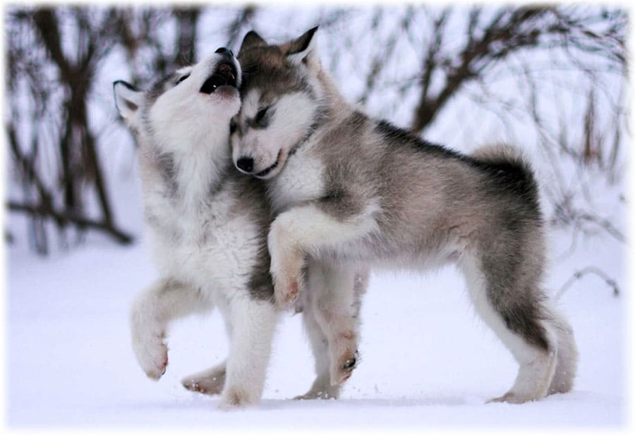 Аляскинский маламут: фото щенка, уход и содержание, характер, краткое описание, опасные болезни и лечение