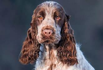 МОПС: описание породы, достоинства, воспитание и дрессировка щенка с фото