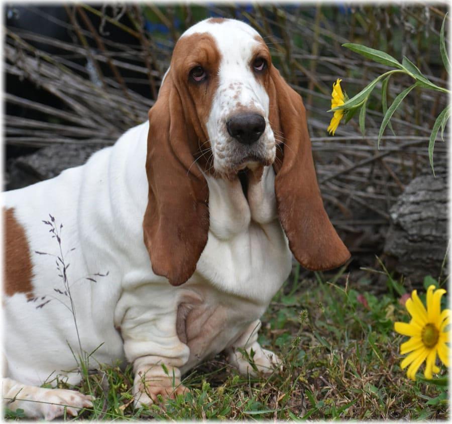 Бассет хаунд, фото, уход и описание, характеристика, питание и болезни породы бассет