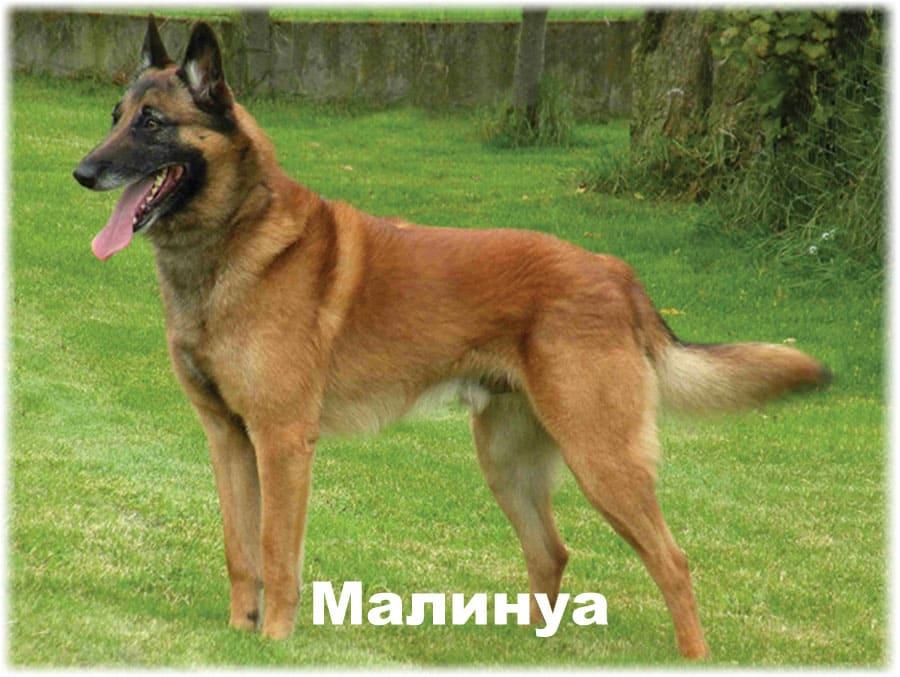 Малинуа