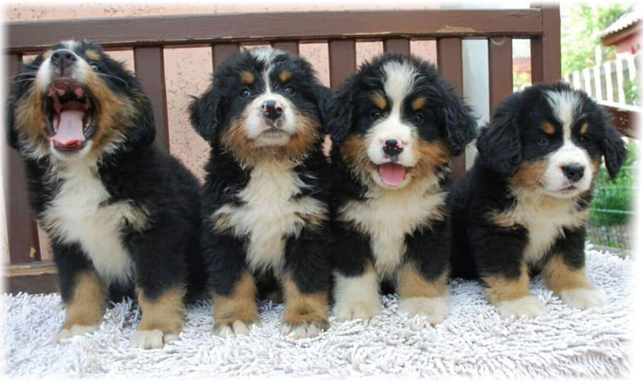 4 щенка бернского зенненхунда