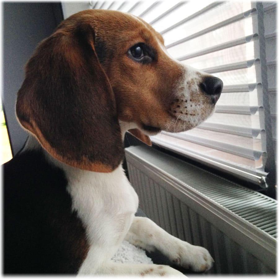 Бигль смотрит через окно