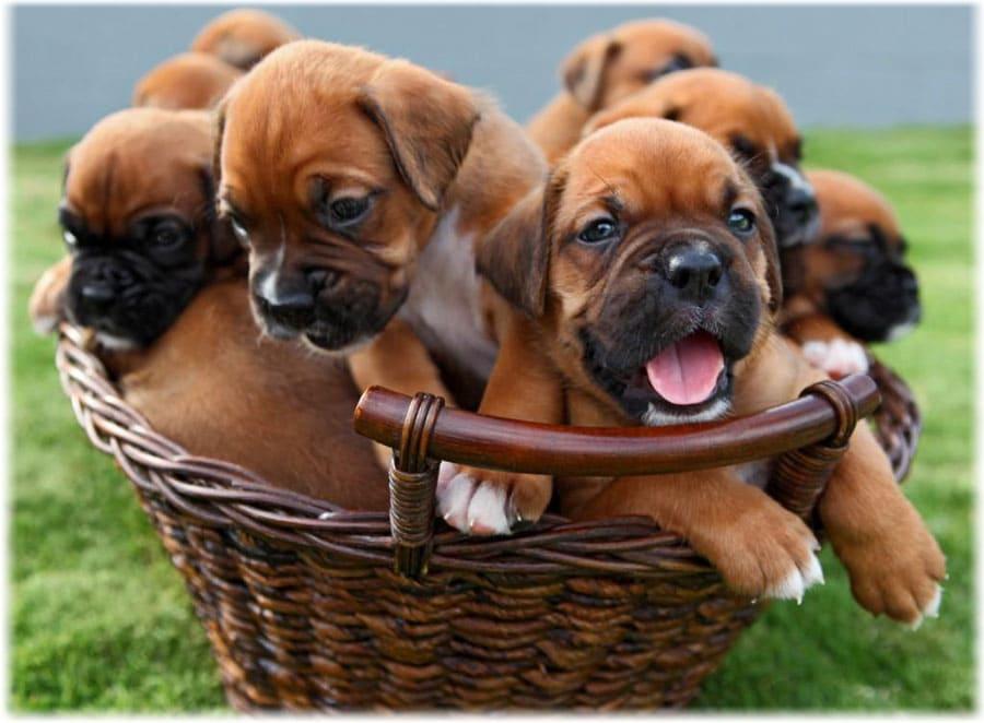Маленькие щенки боксера в корзине
