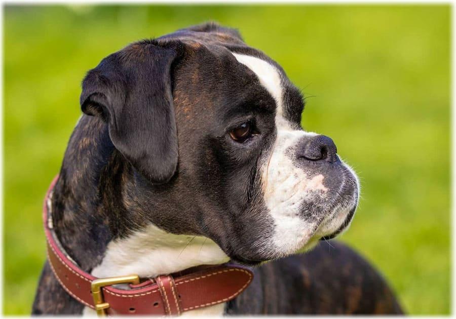 Собака боксер характеристика породы