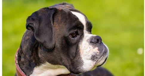 Порода боксер: характеристики собаки, внешний вид, особенности ухода и рекомендации по выбору щенка