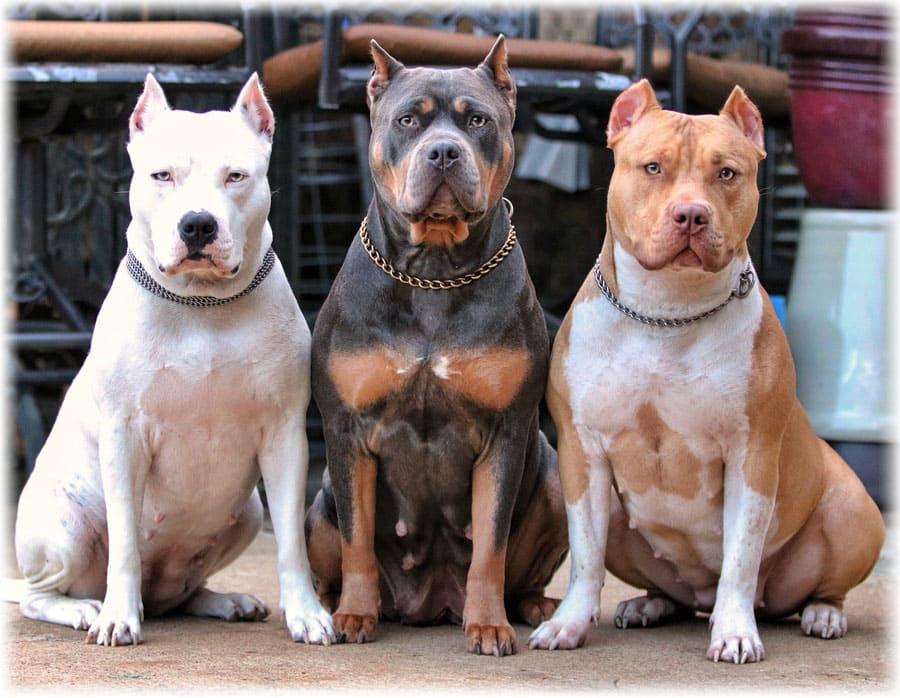 Бойцовые собаки фотографии