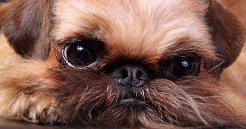 Порода собак гриффон - описание и фотографии