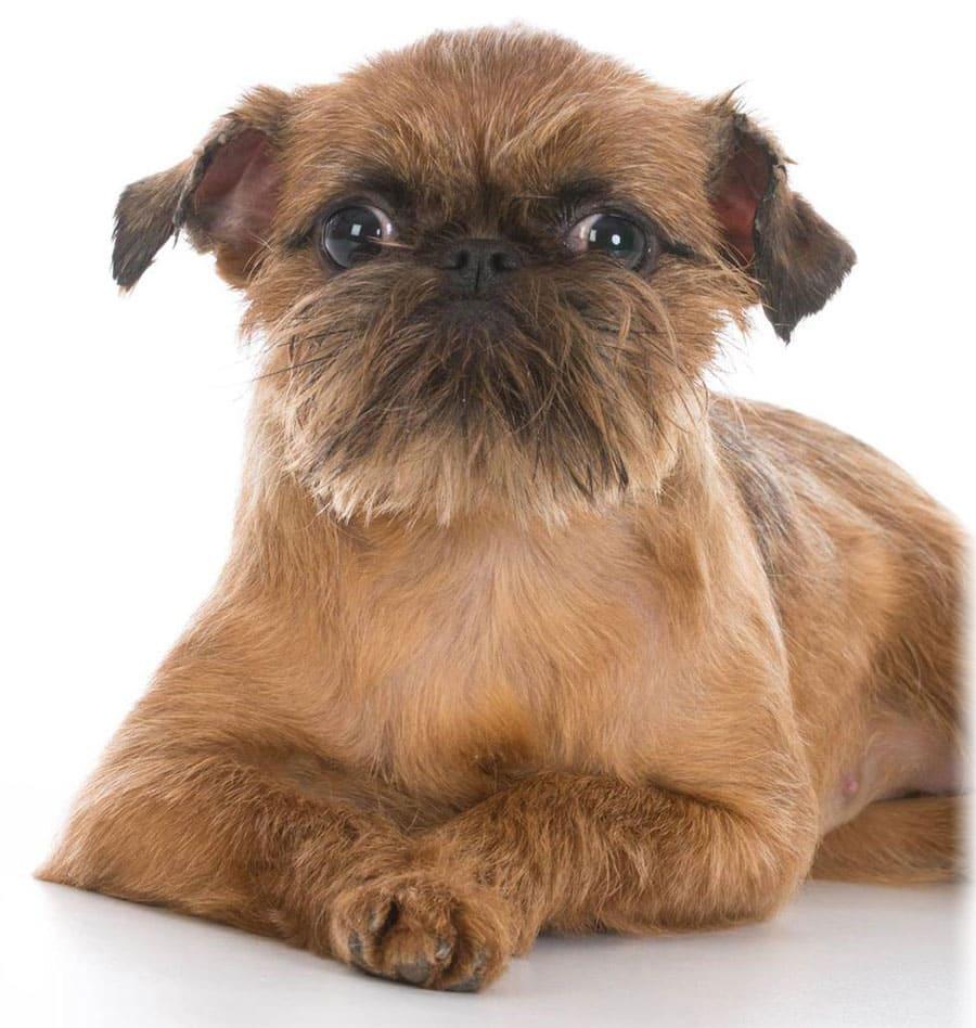 Фото собак породы гриффон