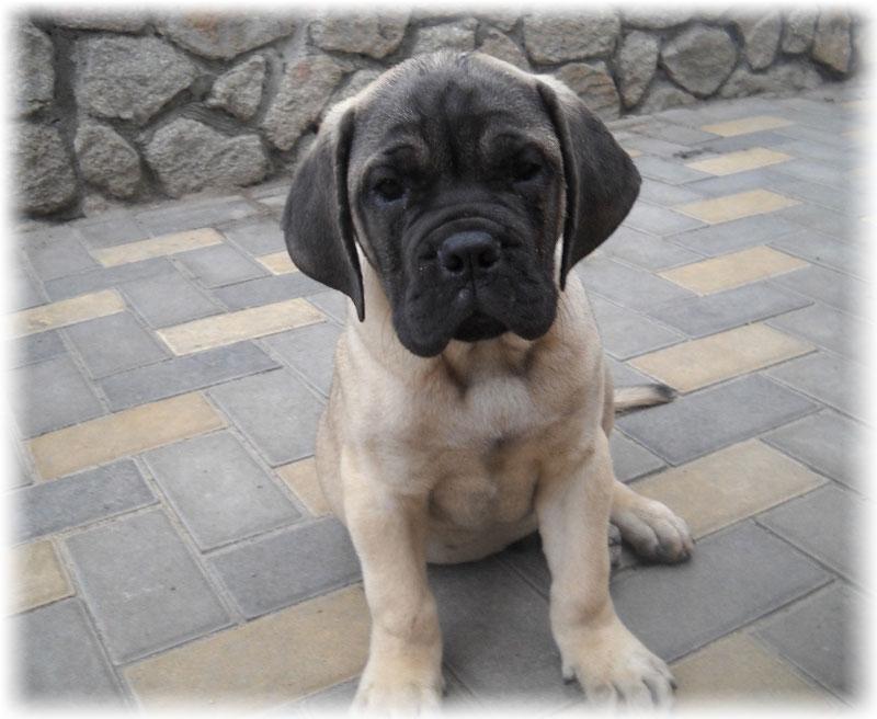 Бульмастиф фото щенка