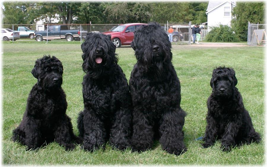 Русский черный терьер - семья