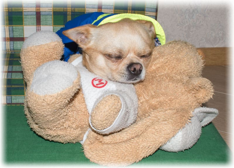 Взрослая собака спит