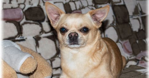 Собаки порода чихуахуа
