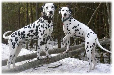 Раскраска хаски щенки