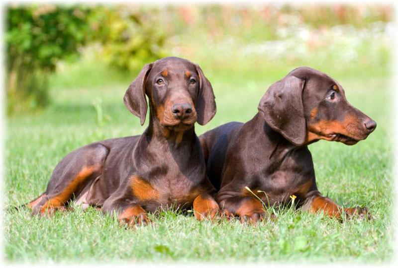 Два щенка добермана пинчера шоколадного окраса