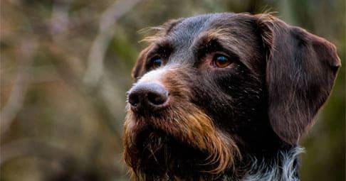 Вес и рост щенка дратхаара по месяцам