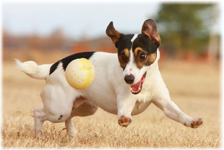 Щенок играет с мячом