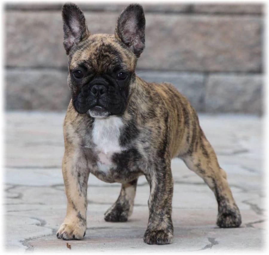 фото тигрового щенка французского бульдога