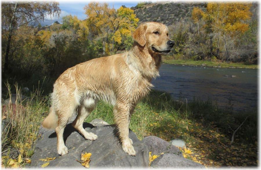 Золотистый ретривер возле речки
