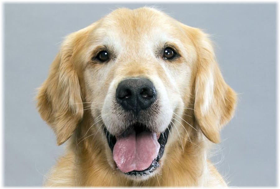 Золотистый ретривер: описание породы с фото, отзывы, уход и болезни
