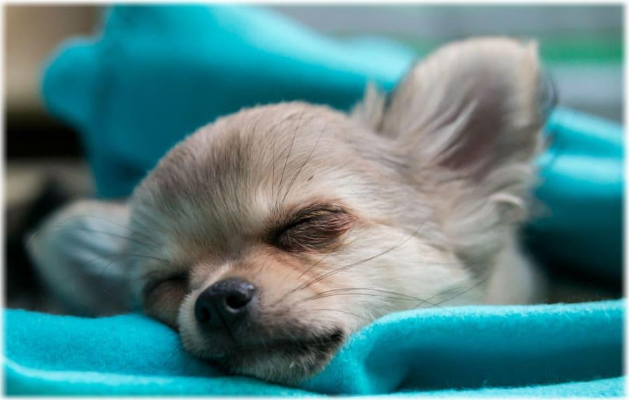 Спящий щенок чихуахуа