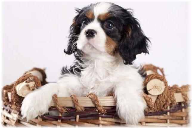 Собака кавалер кинг чарльз спаниель