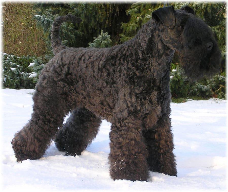 Керри блю терьер на снегу