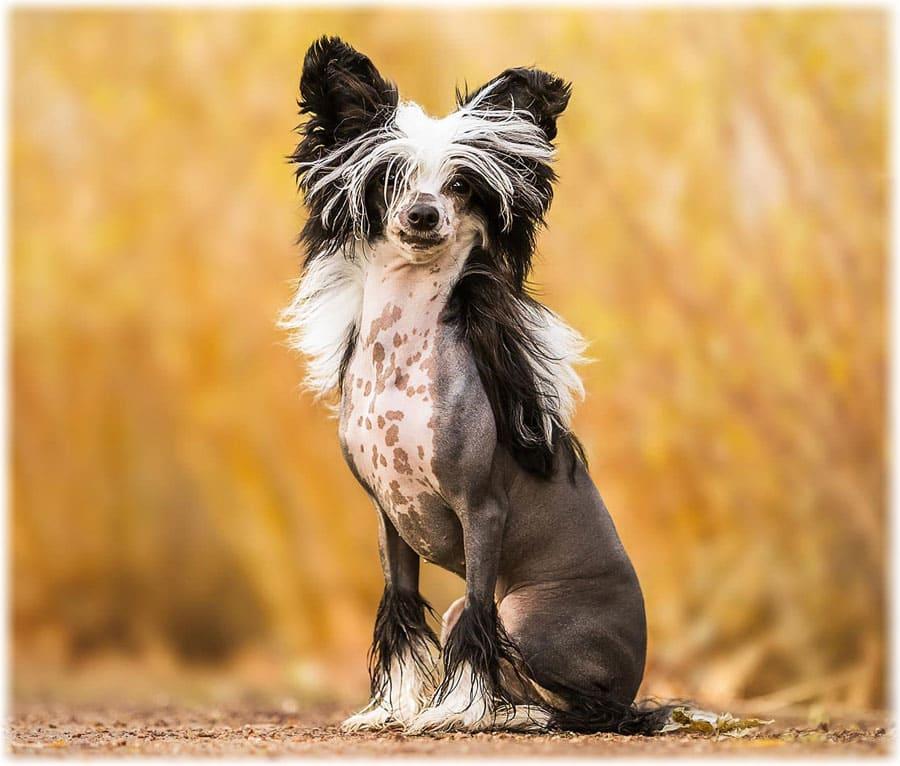 Китайская хохлатая собака: фото, уход и содержание породы, характер