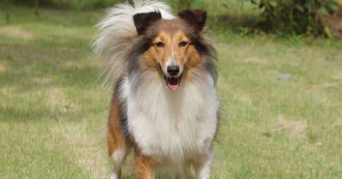 Колли собака: описание породы с фото, особенности характера, рекомендации по уходу