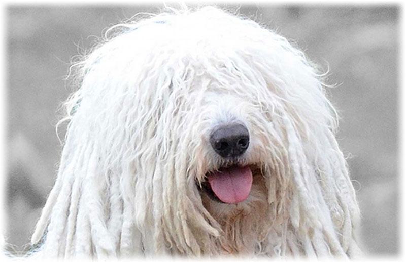 0e70ce8282b1 Комондор (Венгерская овчарка): фото, описание породы, отзывы, уход ...