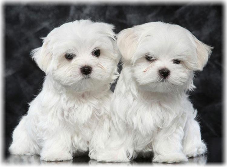 Два щенка мальтийской болонки