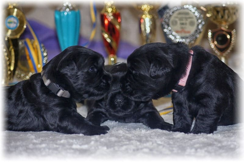 Маленькие чемпионы - щенки миттельшнауцера