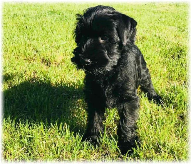 Маленький щенок миттельшнауцера черного окраса