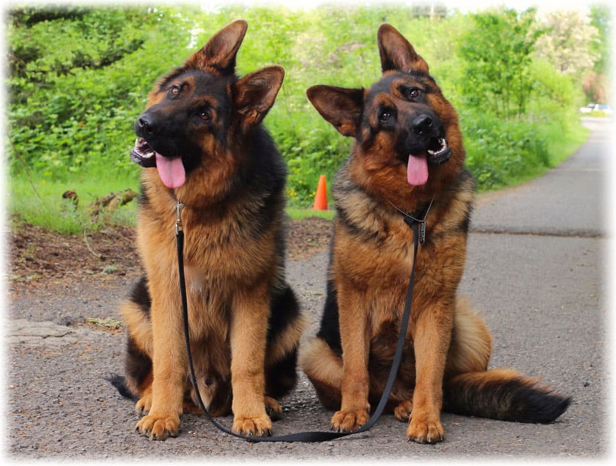 Две собаки породы немецкая овчарка