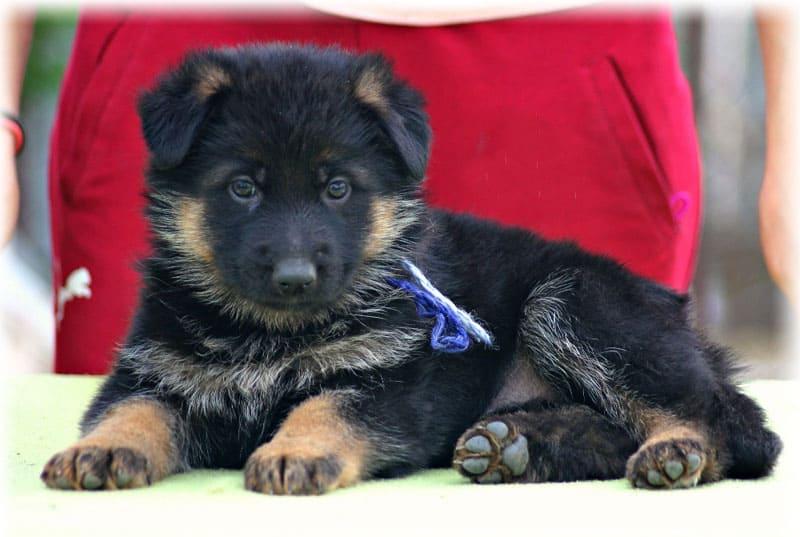 Особый характер щенка немецкой овчарки
