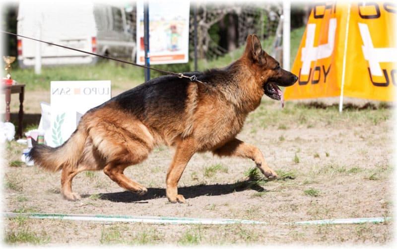 Собака на соревнованиях