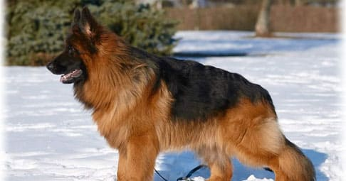 Немецкая овчарка порода собак фото