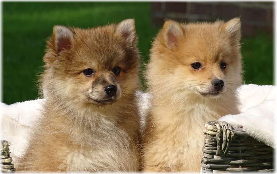 Две лисички немецкого шпица