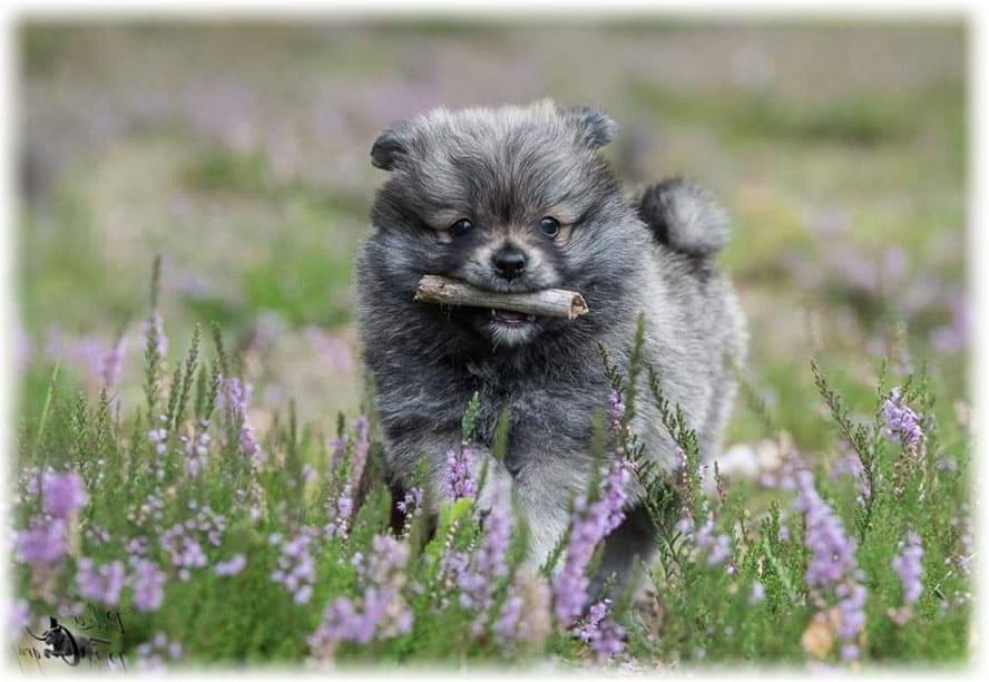 Собака немецкий шпиц бежит среди цветов