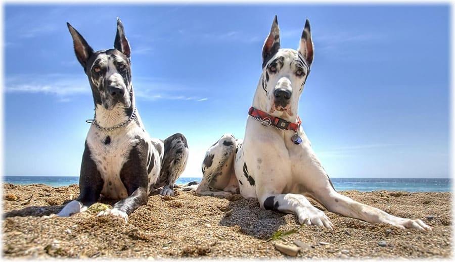 Немецкий дог на пляже у моря
