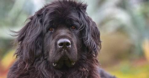 Водолаз порода собак