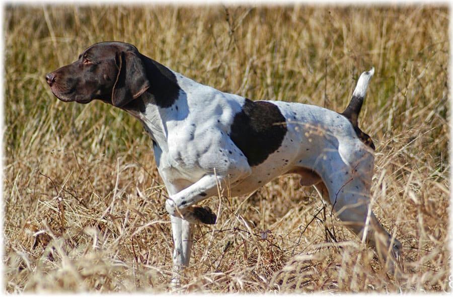 охотничья и декоративная порода собак