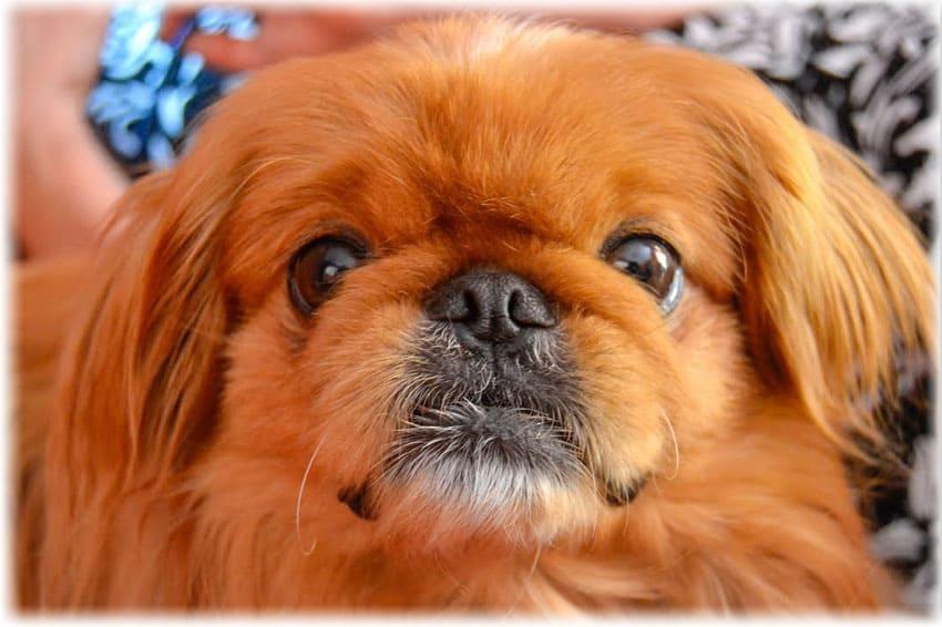 Пекинес: фото щенков, уход, характер, описание породы, болезни