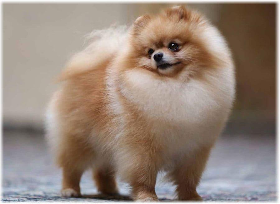 Померанский шпиц фото, уход за щенками, описание породы