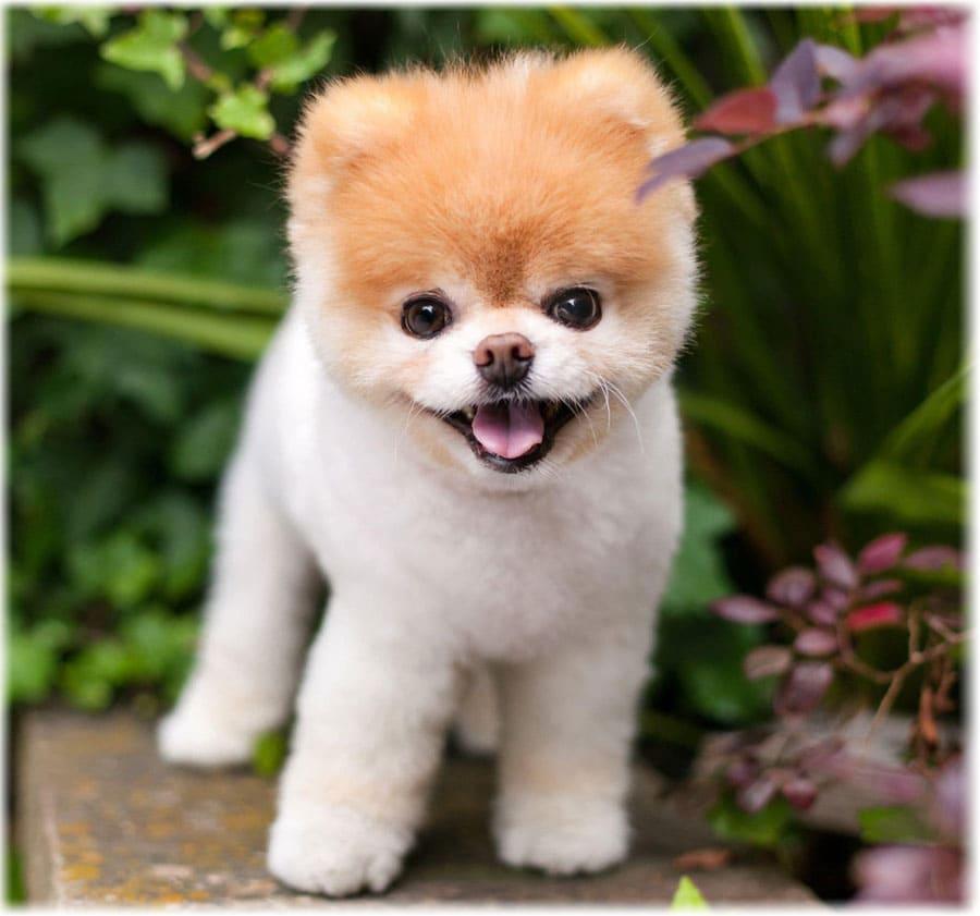 Еще очень маленький щенок померанского шпица