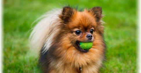Всё о породе собак немецкий шпиц