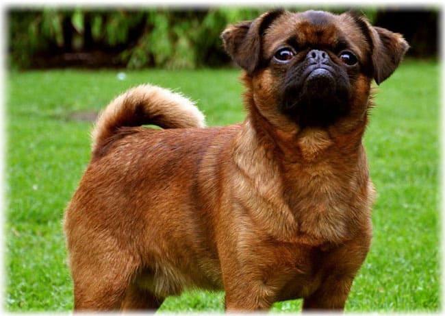Собака пти брабансон стоин та траве