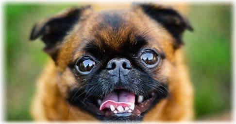 Пти брабансон: фото и описание породы