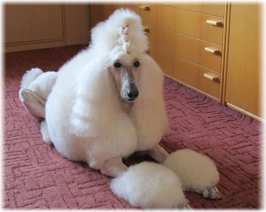 Взрослый пудель белого окраса лежит на ковре